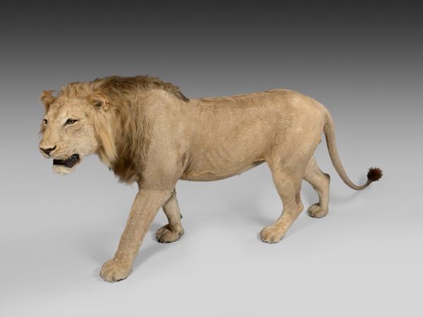 LION Panthera leo, magnifique exemplaire mâle sauvage, naturalisé entier, en [...]